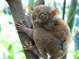 Tarsier True Facts