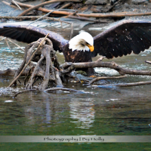 Photography by Holly wildlife-eagle