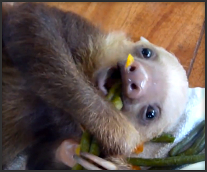 Sloth eating leaves Zefrank1